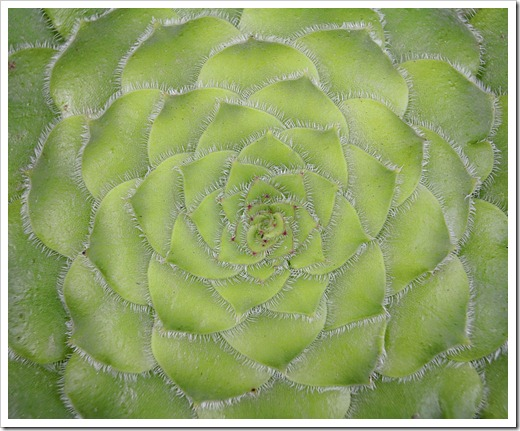 120220_Aeonium-tabuliforme_02