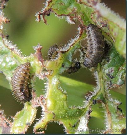 81-larvae