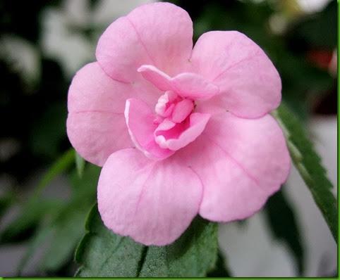 Achimenes Double Pink Rose