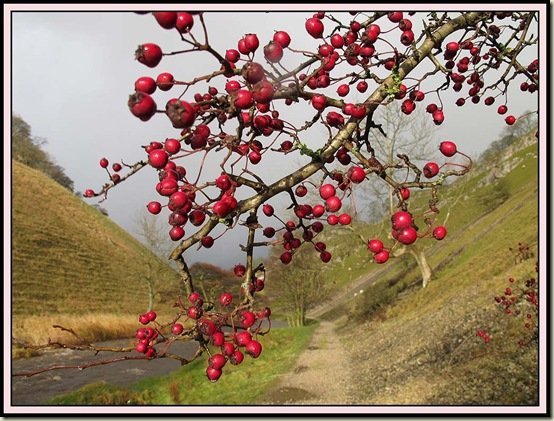 Berries in Wolfscote Dale