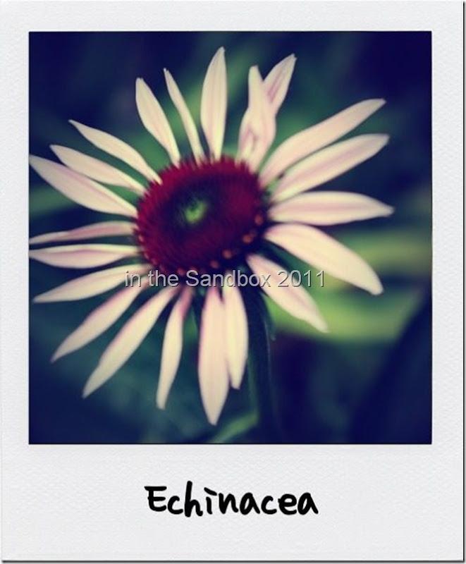 Echinacea poloroid