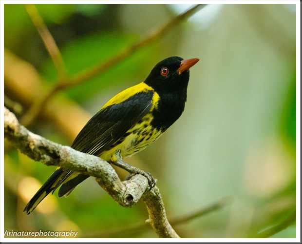 Dark-Throated Oriole2