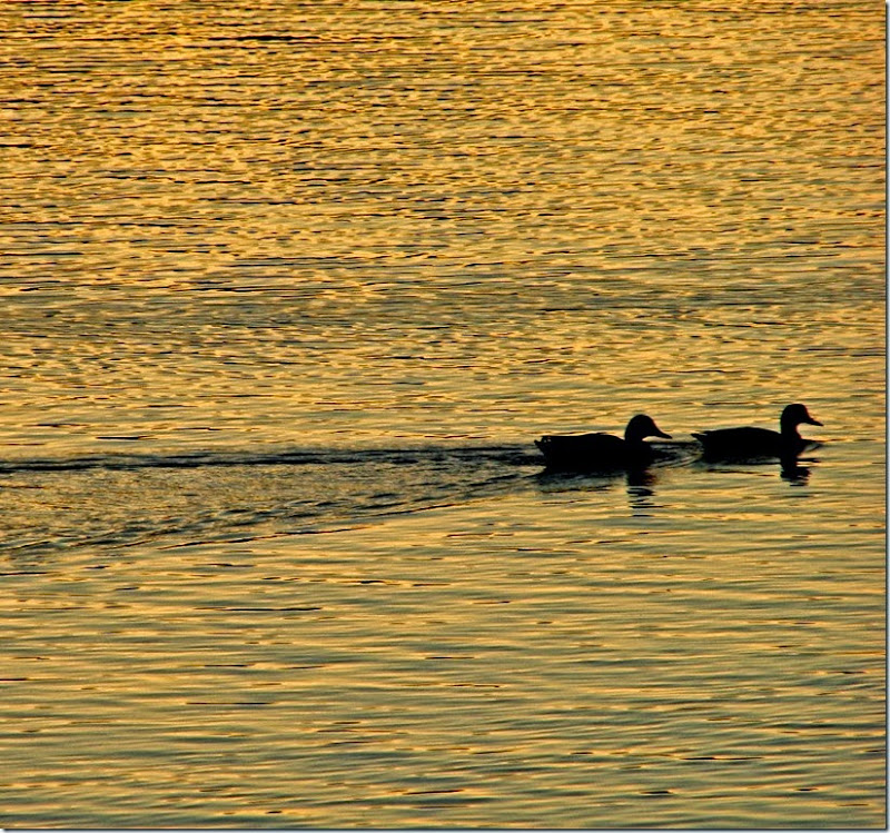 A - golden lake, 2 ducks 