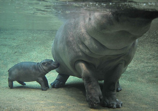 GERMANY-ANIMALS-ZOO-HIPPO