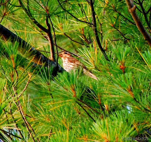 13. purple finch-kab