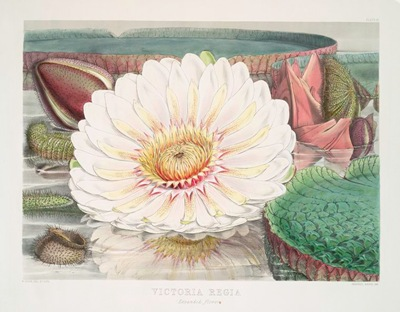 Victoria_Regia._(Expanded_flower)_(1851)
