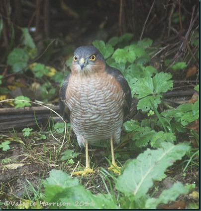 sparrowhawk male
