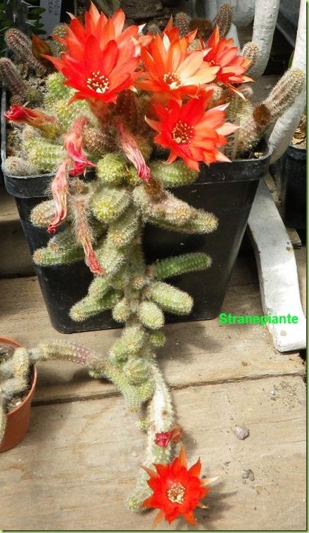 Echinopsis chamaecereus fioritura