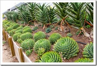 120929_SucculentGardens_Aloe-polyphylla_02