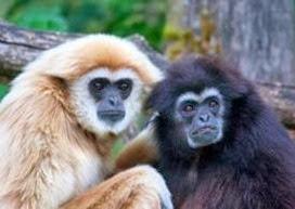 Amazing Pictures of Animals, Photo, Nature, Incredibel, Funny, Zoo, Gibbons, Hylobatidae, Primate, Mammals, Alex (6)