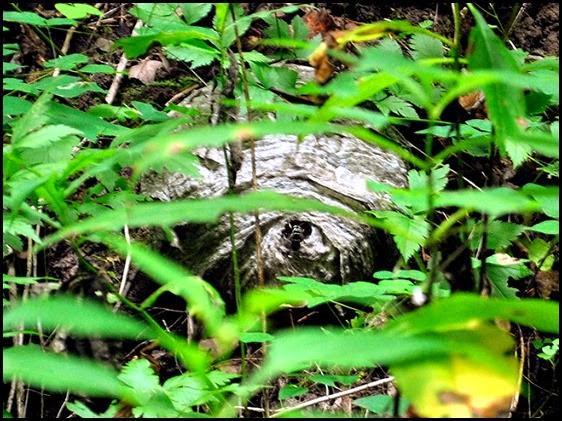 25h - Anna Ruby Falls Trail - Hornet entering the hornets nest