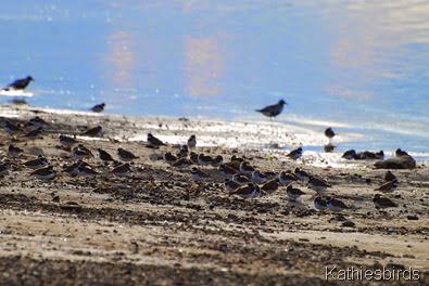4. shorebirds-kab