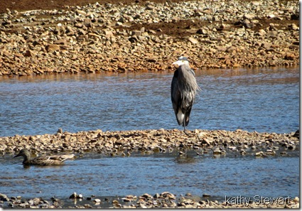 Heron and female Mallard