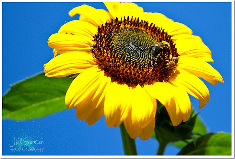 sunflower-5550