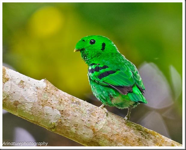 Green BB(m)4