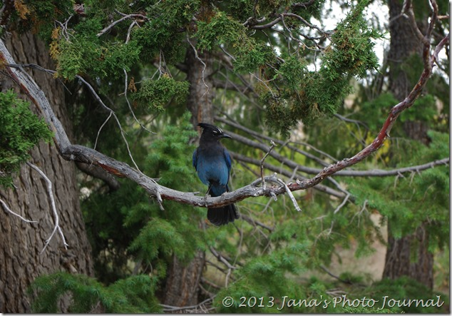 Steller's Jay at Bryce Point