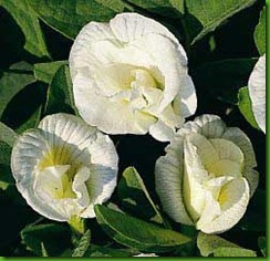 Clitoria  White Lady
