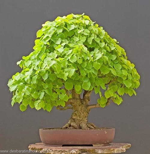 bonsais arvores em miniatura desbaratinando (69)