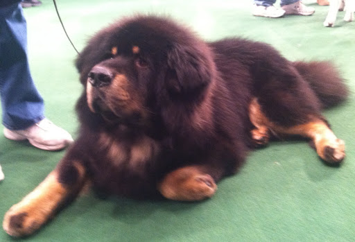 Tibetan Mastiff 'Major' gave away his human Mom Debbie Parsons in her wedding ceremony held in the benching area during the Westminster Kennel Club dog show...Congratulations Debbie (and Major)!!!
