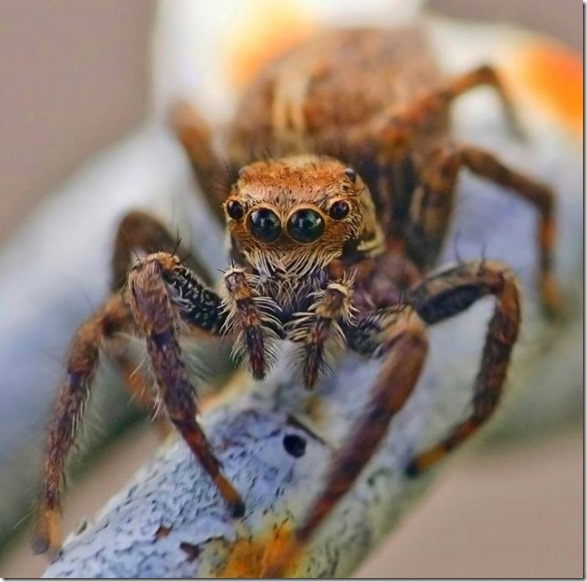 giant-largest-spider-5