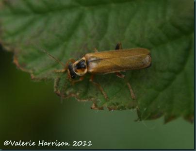 soldier beetle Cantharis decipiens