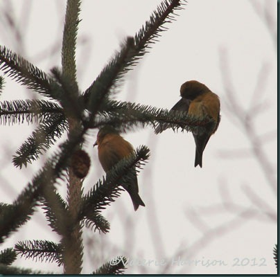 29-crossbills