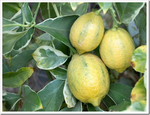 120919_variegated-Eureka-lemon_06