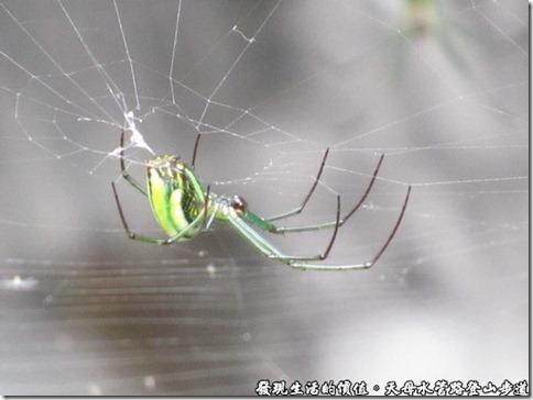 天母水管路登山步道,還有許多的「大銀腹蜘蛛」結網樹梢及水邊。