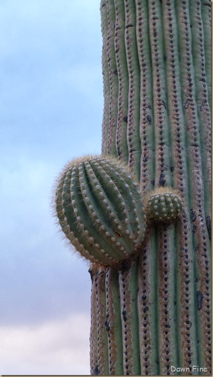 Saguaro NP West_099