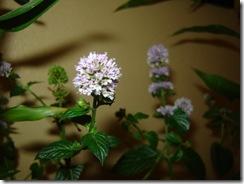 Flor da Mangerona