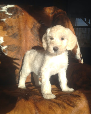 Australian Labradoodle puppy, buffy gold coat.