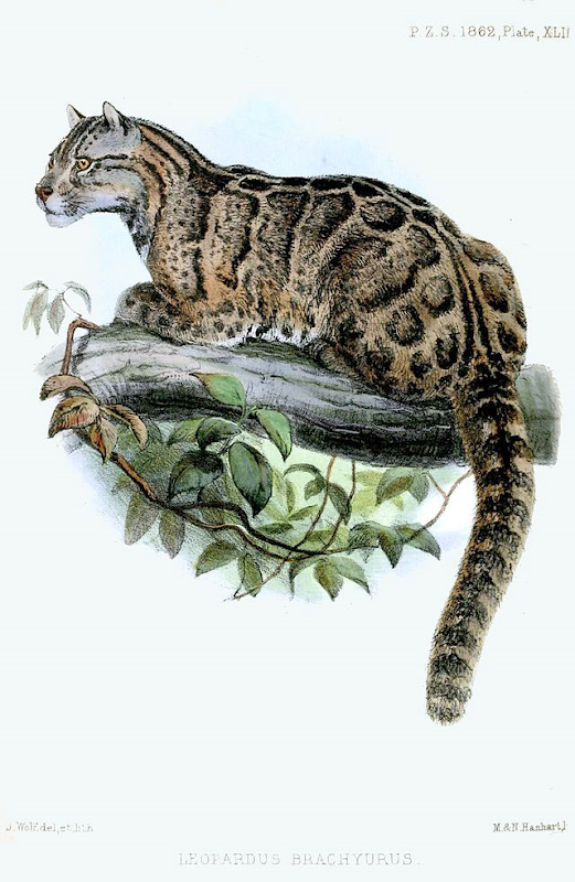 In 2013, the Formosan Clouded Leopard, Neofelis nebulosa brachyura, was declared extinct. Graphic: Joseph Wolf / Pixable
