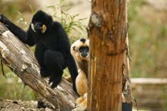 champrépus gibbons