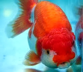 Amazing Pictures of Animals, Photo, Nature, Incredibel, Funny, Zoo, Ranchu, Goldfish, Alex (16)
