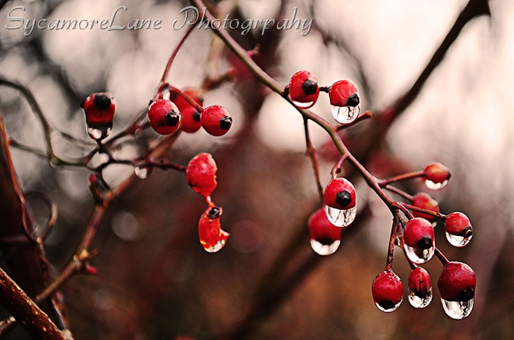 rose hips and water droplets