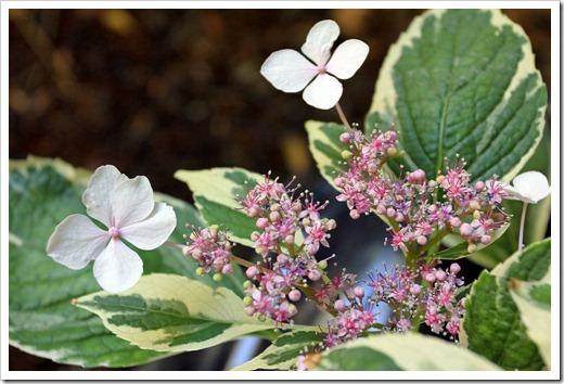 130524_Hydrangea-macrophylla-Tricolor_10