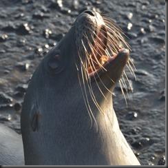 Sea lion 8