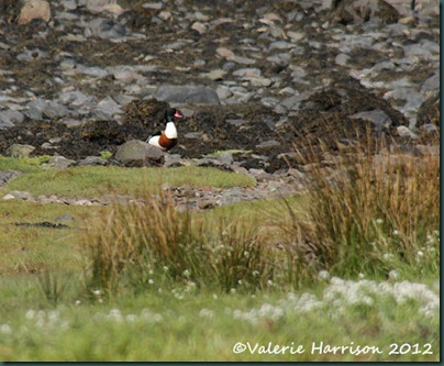 7-shelduck