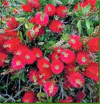 Splendens Bottlebrush