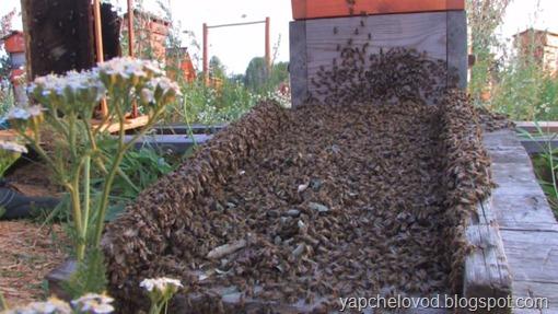 Заселение пчел в новый улей