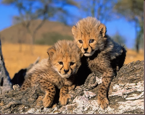 Amazing Animal Pictures Cheetah (4)