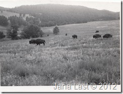 Bison in Yellowstone National Park Wyoming 1952