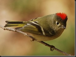 Ruby-crowned_Kinglet