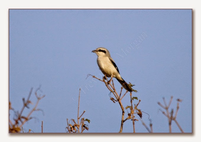 Local Birds 2  G G Shrike 2