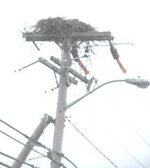 7.31.12 osprey nest on telephone pole6
