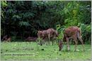_P6A2075_cheetal_chital_deer_mudumalai_bandipur_sanctuary