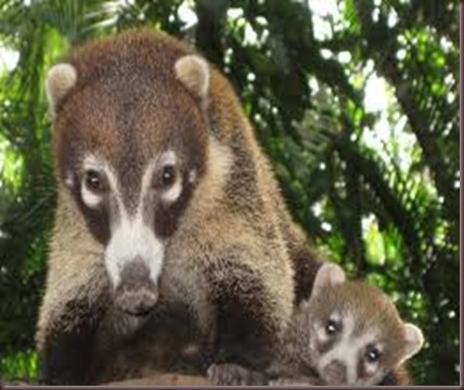 Amazing Pictures of Animals Coati Nasua. Alex (9)