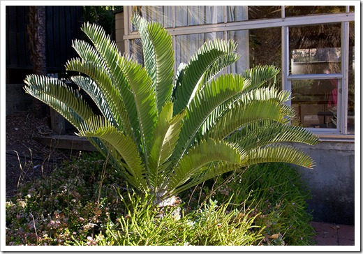 111228_UCBG_Encephalartos-horridus-x-longifolius_05