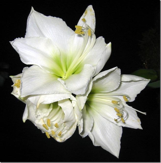 Hvit amaryllis macro
