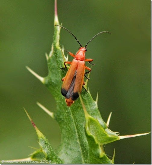 common-red-soldier-beetle-rhagonycha-fulva
